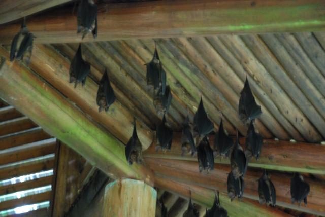 8葉鼻蝙蝠.JPG