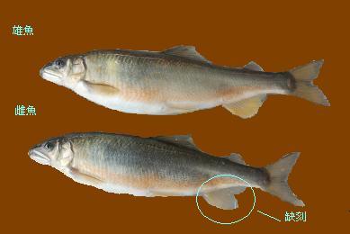 香魚4.JPG