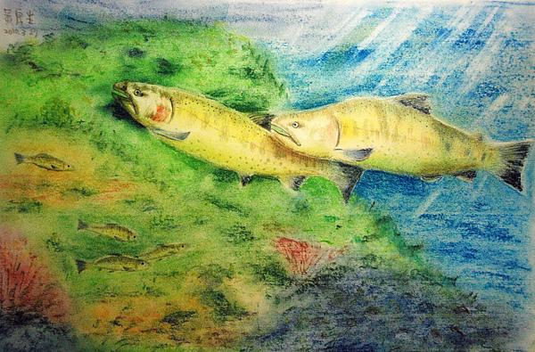 櫻花勾吻鮭(粉彩,色鉛筆)