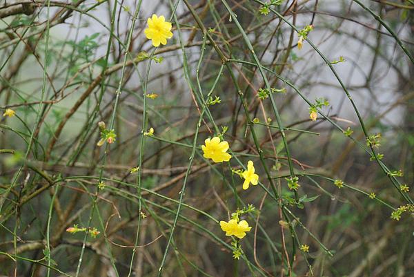 黃色小花1.JPG