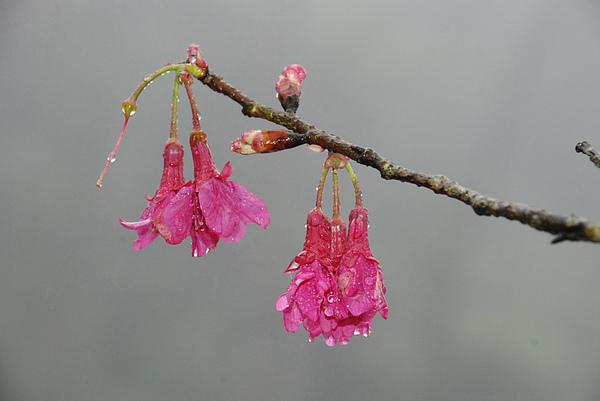 山櫻花1_2.JPG