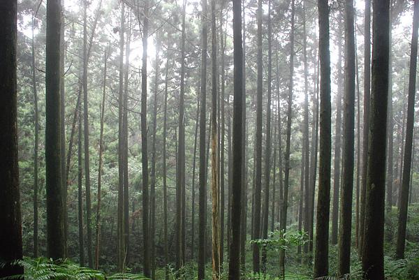 杉木林1.JPG