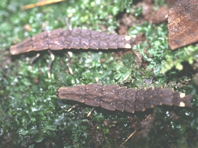 螢火蟲幼蟲.bmp