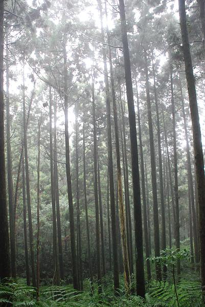 柳杉群1.JPG