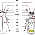 螢火蟲構造-02