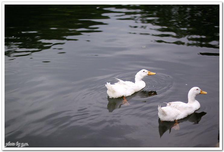 鴨.jpg