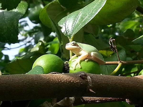 樹蛙01.jpg