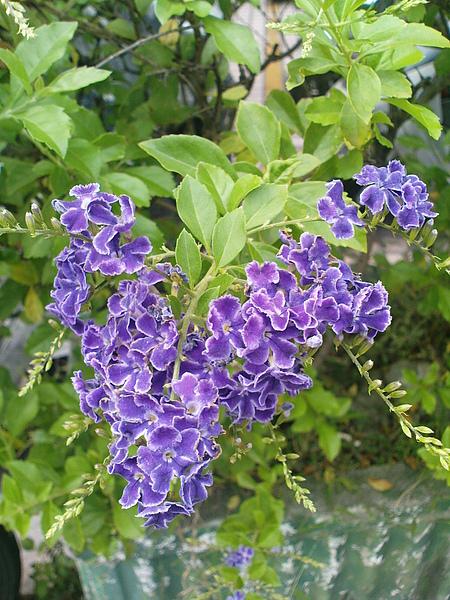 紫色的心.JPG