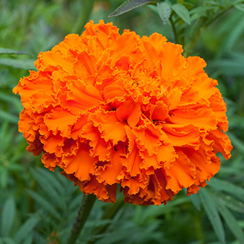 african_marigold_kees_orange_seeds.jpg