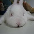 依欣的愛兔麻糬-2