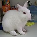 依欣的愛兔麻糬-3