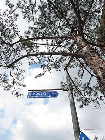 路邊就有針葉樹