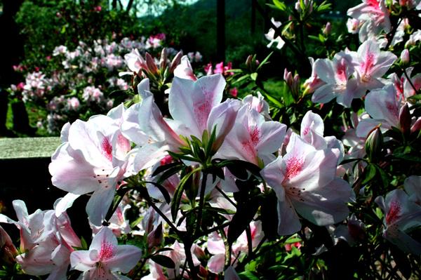 滿山杜鵑花
