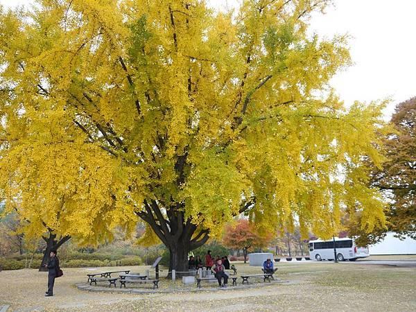 古宮博物館旁的巨無霸銀杏樹-2