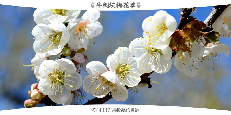 2014牛稠坑梅花季