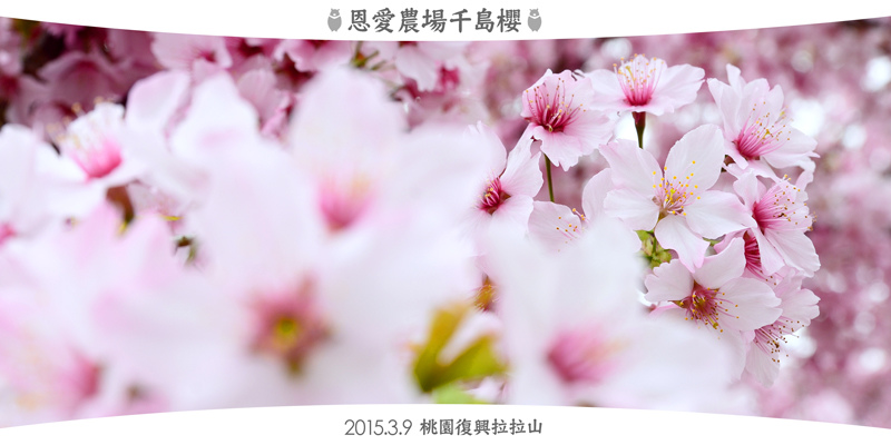 2015恩愛農場千島櫻