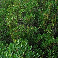 水筆仔樹林