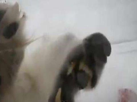 北極熊張揚舞爪