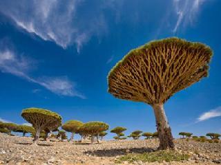 葉門索科特拉島