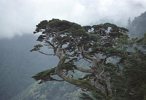 南橫一隅 (天池的樹)