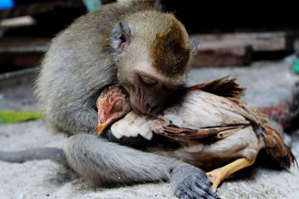 雞和猴子相戀