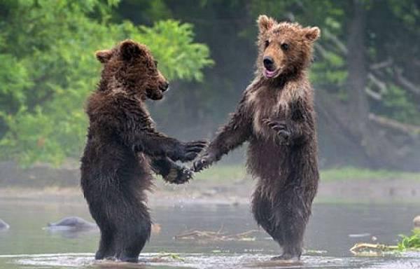 小熊見面「握手」致意