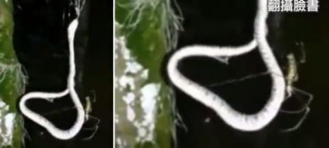 人面蜘蛛吃「蛇」