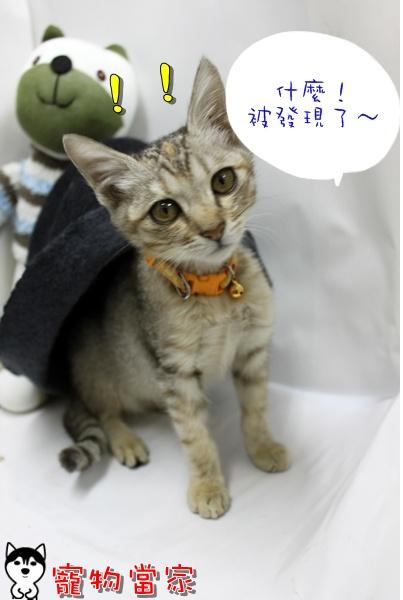 哈士奇居家清潔公司-寵物當家-小貓愛玩躲貓貓4.JPG