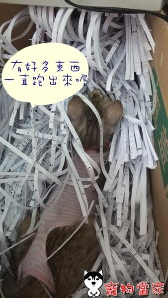 哈士奇居家清潔-寵物當家-一隻愛上碎紙機的貓1.JPG