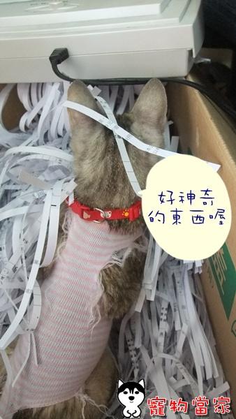 哈士奇居家清潔-寵物當家-一隻愛上碎紙機的貓3.JPG