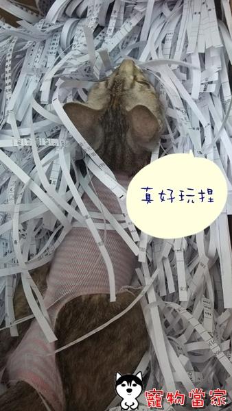 哈士奇居家清潔-寵物當家-一隻愛上碎紙機的貓2.JPG