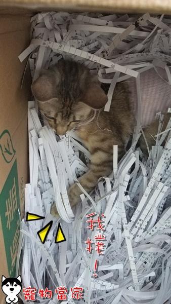 哈士奇居家清潔-寵物當家-一隻愛上碎紙機的貓6.JPG