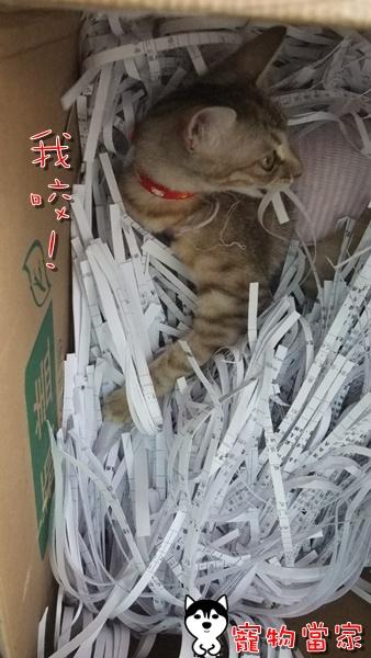 哈士奇居家清潔-寵物當家-一隻愛上碎紙機的貓5.JPG