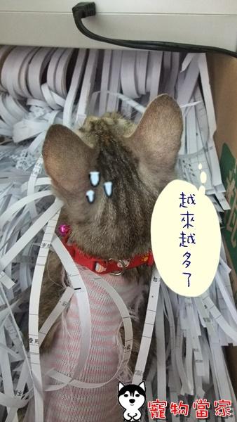 哈士奇居家清潔-寵物當家-一隻愛上碎紙機的貓7.JPG