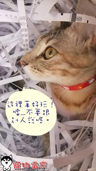 哈士奇居家清潔-寵物當家-一隻愛上碎紙機的貓9.JPG