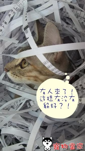 哈士奇居家清潔-寵物當家-一隻愛上碎紙機的貓8.JPG