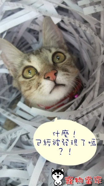 哈士奇居家清潔-寵物當家-一隻愛上碎紙機的貓10.JPG
