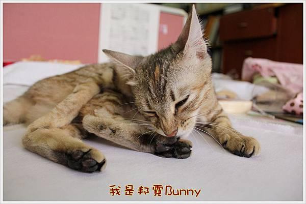 哈士奇居家生活-Have A Bunny Day 02