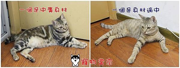 哈士奇居家生活-寵物當家-20111208生活照