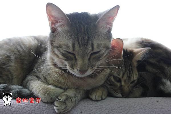 哈士奇居家生活-寵物當家-20120106生活照