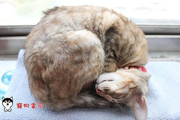 哈士奇居家生活-寵物當家-BUNNY睡姿大公開01