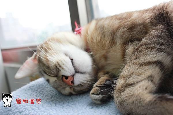 哈士奇居家生活-寵物當家-BUNNY睡姿大公開04