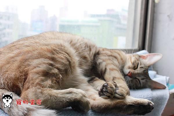 哈士奇居家生活-寵物當家-BUNNY睡姿大公開05