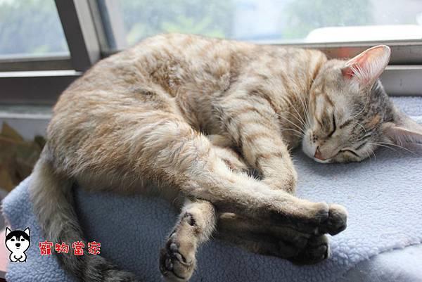 哈士奇居家生活-寵物當家-BUNNY睡姿大公開09
