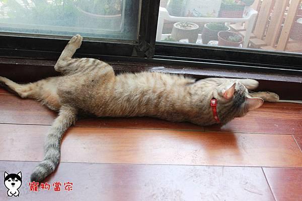 哈士奇居家生活-寵物當家-101年4月BUNNY生活誌01