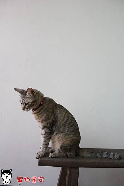 哈士奇居家生活-寵物當家-傲嬌女王Bunny26