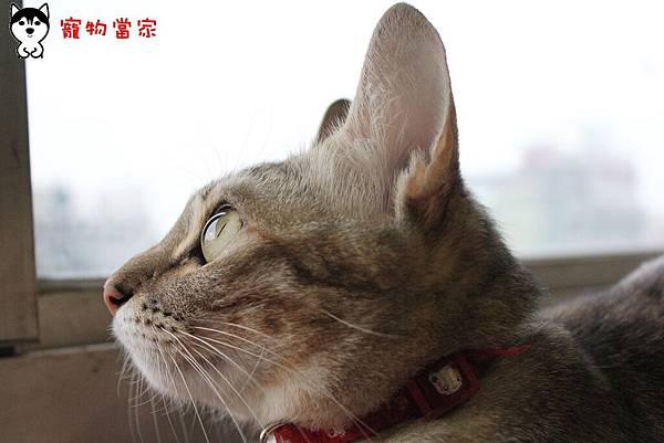 哈士奇居家生活-寵物當家-傲嬌女王Bunny48