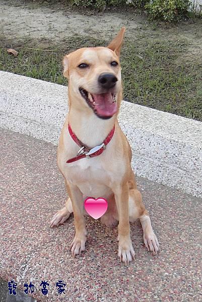 哈士奇居家生活-寵物當家-狗狗的微笑表情