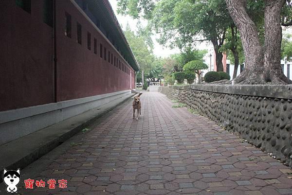 哈士奇居家生活-寵物當家-小摺在台南開心過生活 03