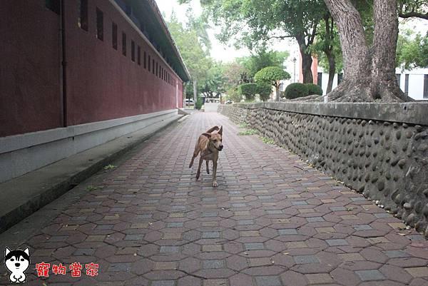 哈士奇居家生活-寵物當家-小摺在台南開心過生活 04